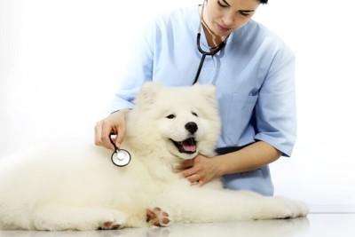 136834595 サモエドと獣医さん
