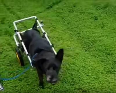 車輪をつけ草地を歩く犬