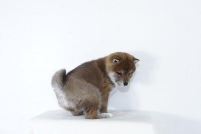 ウンチの体勢をとる子犬