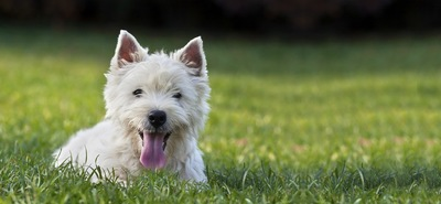 笑顔の白い立耳の犬