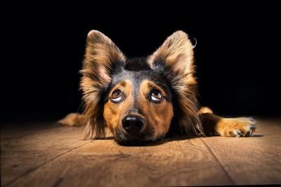耳を立てて上目遣いをしながら伏せる犬