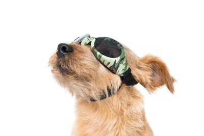ゴーグルを着用した犬の横顔のアップ