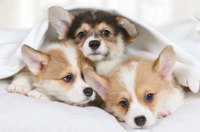 タオルをかぶって寄り添う3匹のコーギーの幼犬