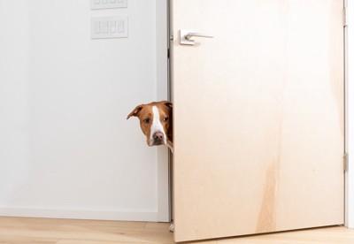 ドアから顔を出してうかがう犬