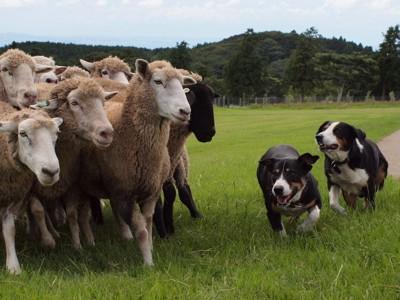 牧羊犬として働いている二匹の犬