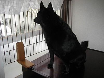 私の帰宅を待ちながら窓から外を見ている愛犬