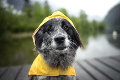 黄色いレインコートを着る犬