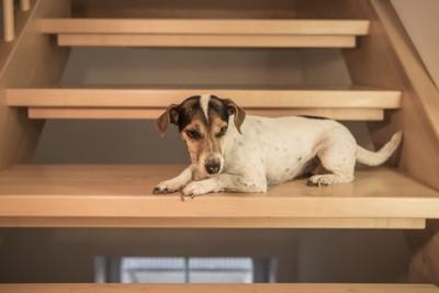 階段で伏せる犬