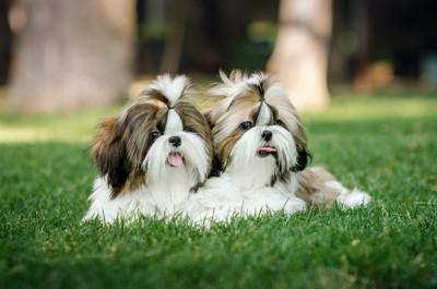 寄り添って芝生の上でくつろぐ二匹のシーズー