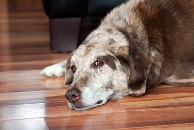 床の上で寝そべる犬