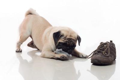 靴下をいたずらする犬