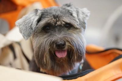 カートに乗る笑顔の犬