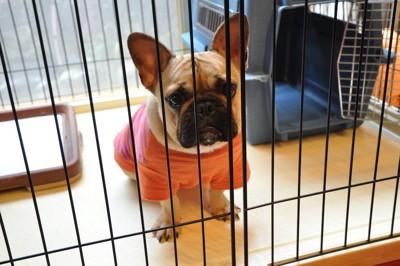 ケージの中から悲しい表情で見つめる犬