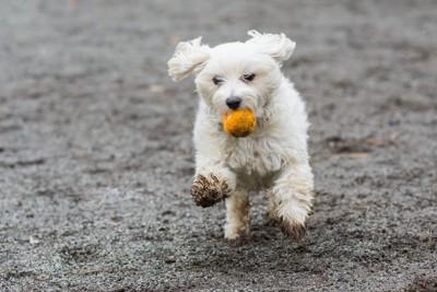 ボールを咥えて走る泥だらけの白い犬