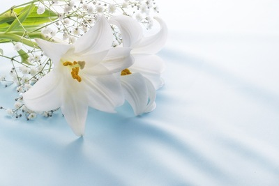 白いゆりの花