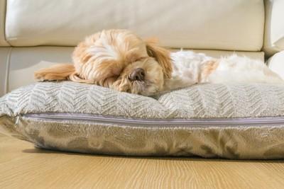 クッションの上で眠るシーズー