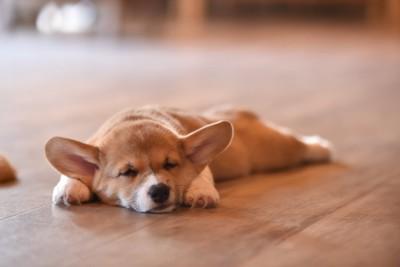 スーパーマンスタイルで寝るコーギーの子犬