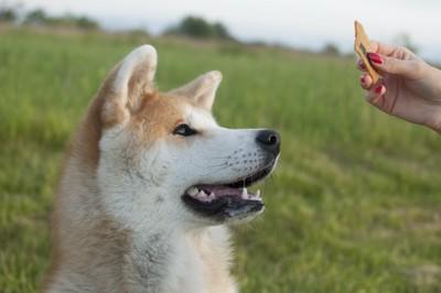 飼い主が持つおやつを見つめる秋田犬