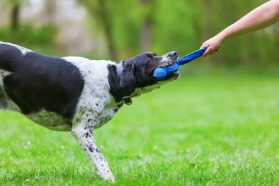 おもちゃの引っ張り合いをする犬と人