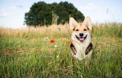 野原に座る笑顔のコーギー