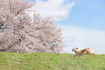 満開の桜と走る犬