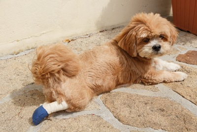 右足をケガした犬