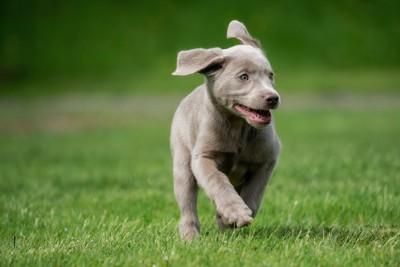 笑顔で芝生を走る子犬