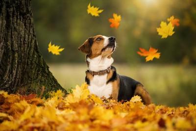 落ち葉が舞うのを見つめる垂れ耳の犬