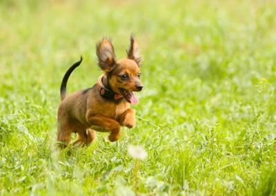 草むらを飛び回る茶色い子犬