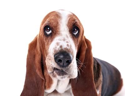 不思議そうな顔をする犬