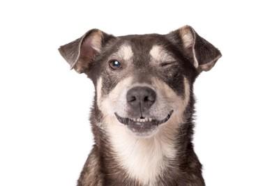 片方の目を閉じている垂れ耳の犬