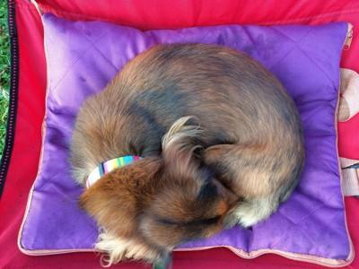 座布団の上で眠る犬