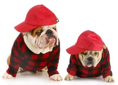 赤い服と帽子を着た2匹のブルドッグ