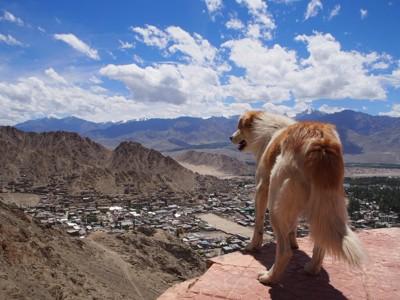 崖に立つ犬