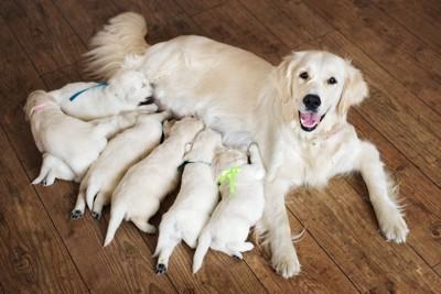 たくさんの子犬に授乳する母犬