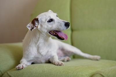 ソファーで口呼吸する犬