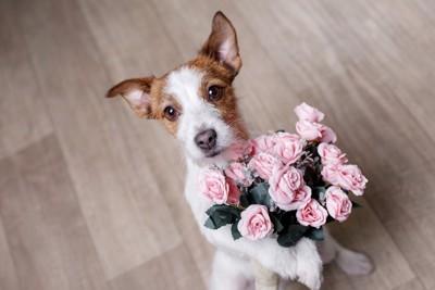 バラの花束を抱えたジャック・ラッセル・テリア