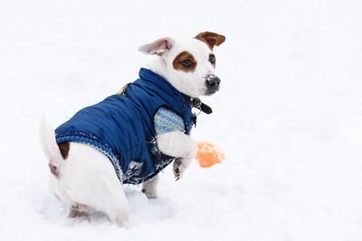 ダウンジャケットを着て雪の上を歩く犬