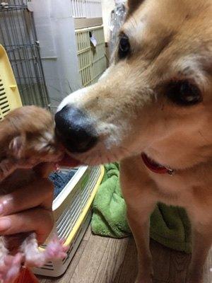 子猫を舐めてる犬