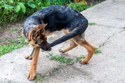 自分の尻尾を噛む犬