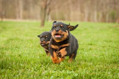 草原で走っているロットワイラーの子犬