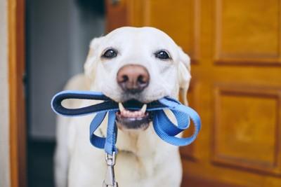 青いリードを咥えて散歩の催促をする犬