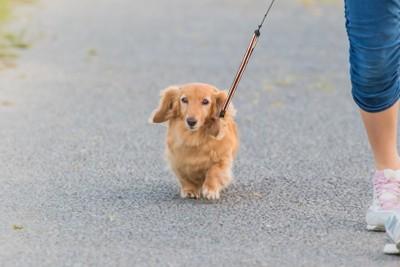 散歩をしているミニチュアダックス