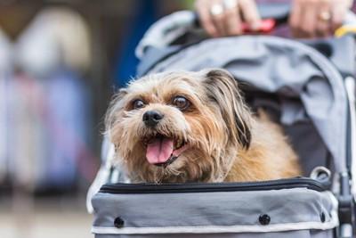 カートで散歩する小型犬