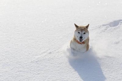 雪の中を走る柴犬