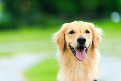 笑顔のゴールデン・レトリバー