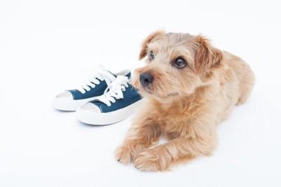 スニーカーの横でフセをする犬