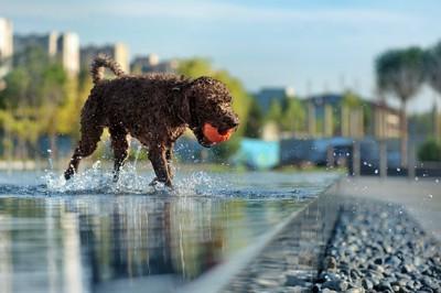 ボールを咥えて水遊びをする犬