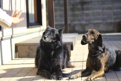 飼い主の指示でマテをしている2頭の犬
