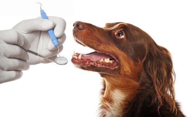 歯を検査される犬